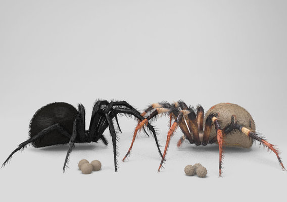 The Widow Spiders