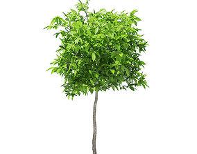 3D Avocado Tree
