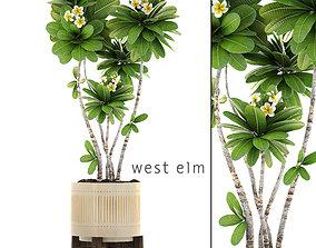 Frangipani tree 3D model