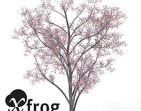 3D model XfrogPlants Blossoming Judas Tree