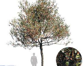 3D model White Oak Var3