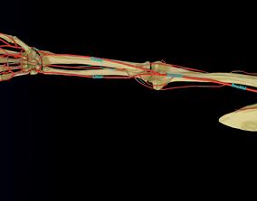 Upper limb arteries axilla arm forearm blood 3D