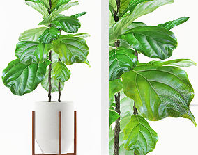 ficus plants 113 3D