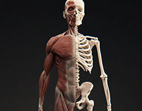 Male Muscular System 3D