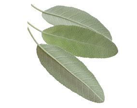 3D model Sage leaf