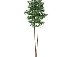 3D model Scots Pine Tree Pinus sylvestris 27m