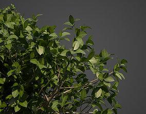 3D 2021 PBR Banyan - Ficus Benghalensis