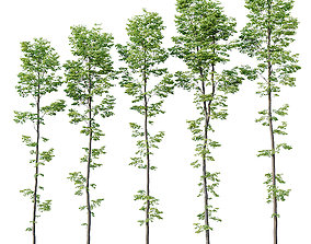 Tilia europaea Nr 9 H19-27m Five forest trees 3D