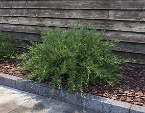 3D model Savin Juniper - Juniperus sabina