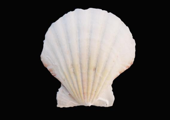 Small Scallop Sea Shell