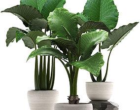 Collection Exotic plants alocasia 3D