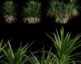 3D Pandanus amaryllifolius - Pandan leaves - Edible pandan