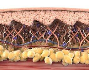 Skin Cross Section Healthy 3D