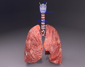 respiratory tract lung trachea 3D