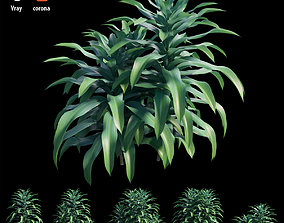 3D Dracaena Corn Plant set 02