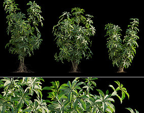 Schefflera arboricola 02 3D model