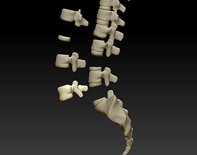 Three dimensional model of human cervical 1