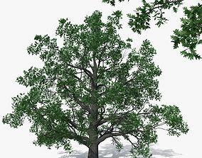 3D Pedunculate Oak