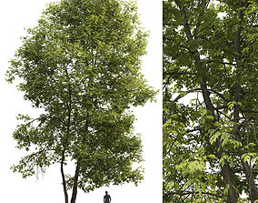Ash-tree 04 H18m 3D model