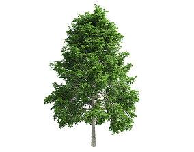 3D model Black Gum Tree