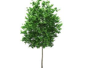 3D Ginkgo Tree Ginkgo biloba 4m