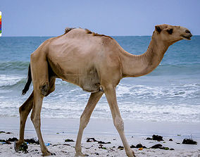 Camel Camelo Low-poly 3D model