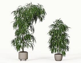 Ficus Alii 3D