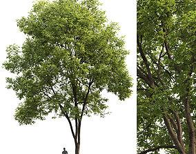 3D model Ash-tree 03 H17m
