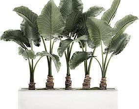 Alocasia in a white flowerpot for decor and interior 3D 1