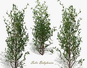 3D Bush Willow Salix Babylonica