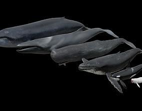 3D model Cetaceans dolphins whales