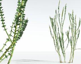 EVERYPlant Hollow-Stemmed Sphenophyllum 01 --16 Models--
