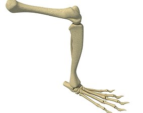 Rat Animal Leg Skeleton 3D model