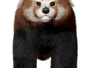 3D model Red panda with realistic fur