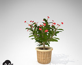 3D XfrogPlants Crown Of Thorns