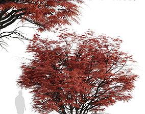 3D model Set of Acer Palmatum or Laceleaf Japanese Maple 3