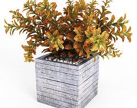 Croton tree 3D
