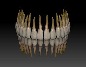Human Teeth teeth 3D