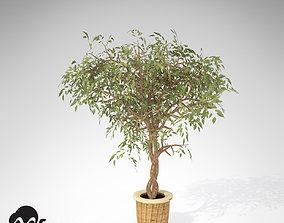 3D XfrogPlants Benjamin Ficus