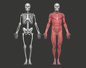 Anatomy Model Male - Skull Skeleton and Muscular 3D