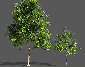 TULIP TREE 3 3D model