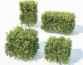 3D model Buxus Sempervirens Nr7 Cubes