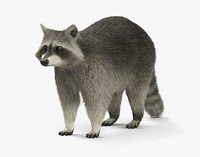Raccoon HD 3D model
