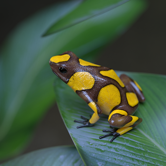Harlequin Poison Dart Frog -  Oophaga Histrionica