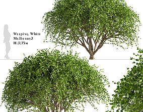 3D model Set of Weeping White Mulberry or Morus Pendula 3