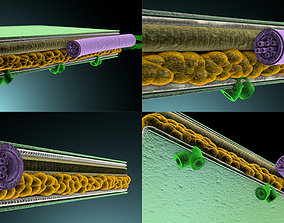3D Cross section of leaf