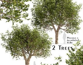3D Set of Platanus acerifolia or London plane Trees - 2