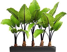 3D model Alocasia macrorrhiza