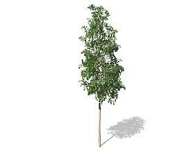 3D European Aspen tree