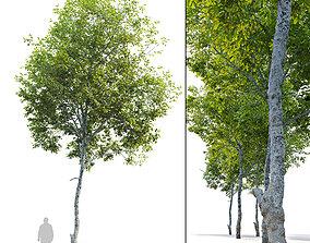 oak tree 3D nature
